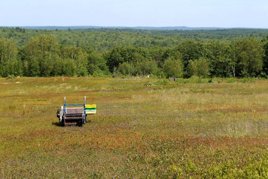 wild blueberry barrens