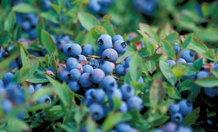 Wild Blueberry and Cardamom Syrup